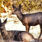 Dear Pair at Bandelier National Monument