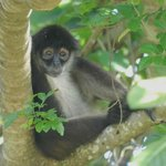 Mexican spider monkey high in the tree