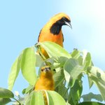 pretty orange orioles