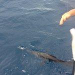 Sailfish at the boat
