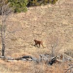 Cougar at Trinidad Lake State Park, CO