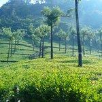 The nearby tea estates