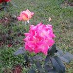 wild rose in the cottage's garden