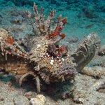Devil Skorpion Fish in front of Manado