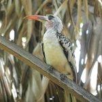 Hornbill (1 vd 550 vogelsoorten in Gambia)