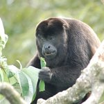 Eye-balling a howler monkey from the communal lounge area