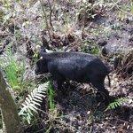 Wild pig!