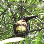 Collared Aracari Toucan outside my porch