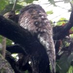 Great Potoo outside my room