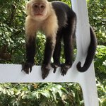 a capuchin monkey comes aboard our boat to say hello