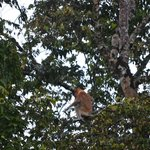 Proboscis monkey mother with baby by the Kinabatangan River