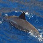 Spinner dolphin seen on Fair Wind cruise.