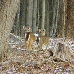 deers staring at me