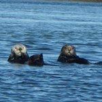 Otters Elkhorn Slough  (zoomed)