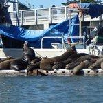 Sea Lions Elkhorn Slough (zoomed)
