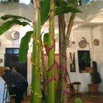 Pour le réveillon, un bananier et un palmier de Noël (ça change du sapin...)