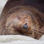 Sleepy seal from the colony at Kaikoura