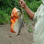 Piranha fischen