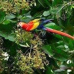Scarlet Macaw feeding on a tree