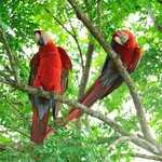 Scarlet Macaws near the pool