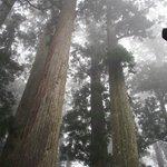 The quiet old cedar tree