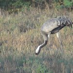 CommonCrane