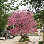 Tababua tree