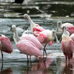 Roseate Spoonbills at Ding Darling NWR