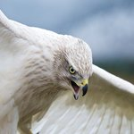 A captive-bred Siberian Goshawk spreads its wings at Teton Raptor Center (Photo by Bob Smith)
