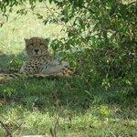 3 cheetahs were so close they could hear us wisper