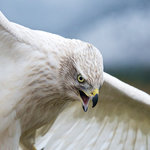 A Siberian Goshawk stretches its wings at Teton Raptor Center (Photo by Bob Smith)