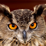 Eurasian Eagle Owls are among the largest owls in the world (Photo by Ted Adams)