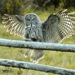 A Great Gray Owl comes in for a landing (Photo by Bonnie Burgess)