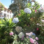 Hydrangeas on steriods in front of Hotel Bougainvillea