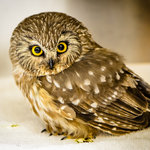 This tiny Northern Saw-whet Owl is just one of many injured raptors who receive care at TRC (Pho