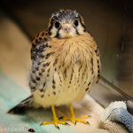 This orphaned American Kestrel returned to the wild after a broef stay at TRC (Photo by Rebecca