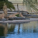 zonnende krokodillen