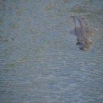 zwemmende krokodil
