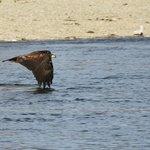 lucky shot, eagle skimming alongside the boat