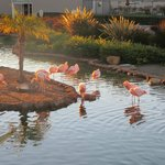 pink flamingos in pond