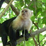 A white-faced monkey nearby
