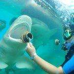 Feeding sharks