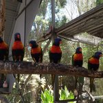 Lorikeets in interactive aviary