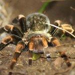 Tarantula with orange legs