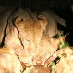 Lions eating a Topi