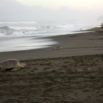 Turtles nesting at Playa Ostional!