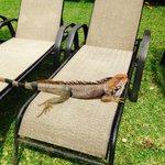 Iguana lounging