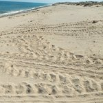 Turtle tracks visible nearly morning on Mauritius beach