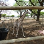 Giraffa di pochi giorni