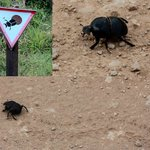 The famous Dung Beetle with his own sign